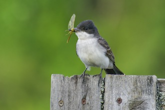 Eastern kingbird with dragonfly on fencepost, Sandpoint.