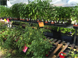 Tomatoes and pepper plants are $1 at Northern Flowers. The stand closes at 5 p.m., Friday until next May. Photo by Susan Drinkard.