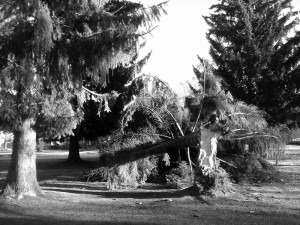A downed tree on the corner of Cedar and Boyer after Tuesday night's windstorm. Photo by Ben Olson.