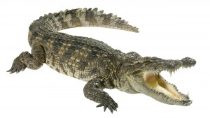 Crocodile = big, angry, hungry.