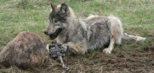A wolf caught in a snare. Image by www.trapperspost.com.