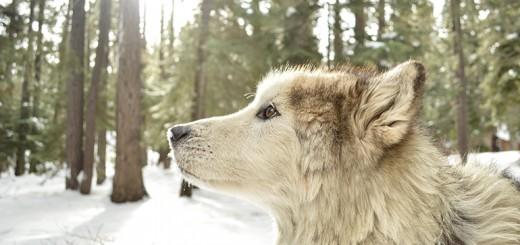 Wolf-CamAdams-WEB-feature
