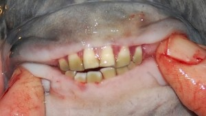 And the creepiest fish award goes to… the pacu fish!