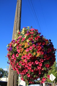 A flower basket provided by the BID hanging on the corner of Second Ave. and Cedar St. Photo by Ben Olson.