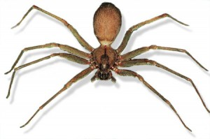BrownRecluse-WEB