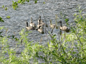 The American Heritage Wildlife Foundation releases the fully grown geese into the wild. Photo by Kestrel Bass.