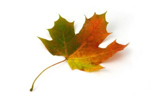 5666-a-maple-leaf-isolated-on-a-white-background-pv
