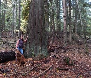 Ali Hakala stands by an old growth cedar in the Sunnyside area marked for Timber Harvest. Courtesy photo.