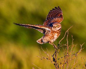 A Burrowing Owl balances atop an old sage brush snag.