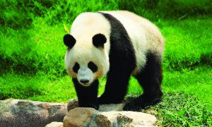 A giant panda goes about its business.
